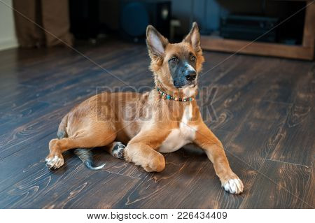 Redhead Mexican Hairless Dog In The Interior On The Floor