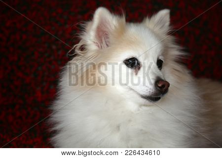 A Pomeranian dog smiles for her portrait. Pomeranian dogs are loved by millions of people world wide.