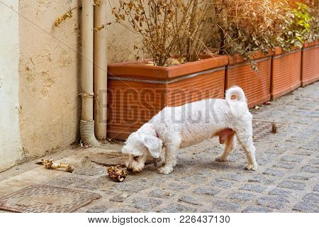 Stray Dog Is Chewing A Bone On Cobblestone Street Of Resort Sity. Pet Animal In Resort Greek Port-ci