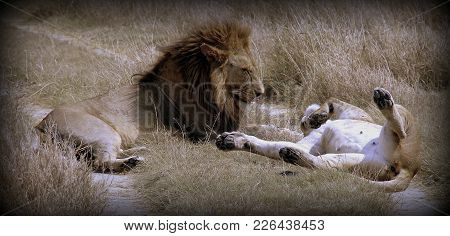 A Couple Of Lion And Lioness In The African Sabana
