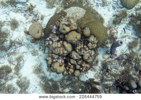 Underwater Scene With Coral, Giant Brain Coral, Branching Purple Vase Sponge And Christmas Tree Worm