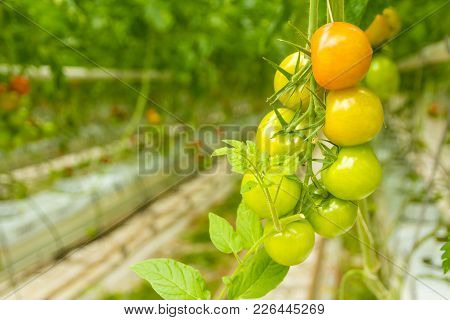 Westland, The Netherlands - 6 April 2014: Green Tomatoes Ripening And Growing In Dutch Greenhouse