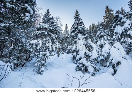 Snowy Landscape In Mountain Sutton Forest. Pine Trees Full Of Snow At Sunrise. Bright Sky At Wide An