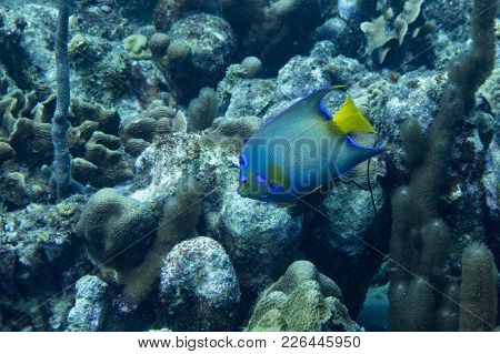 The Queen Angelfish (holacanthus Ciliaris) Is A Marine Angelfish Commonly Found Near Reefs In The Wa