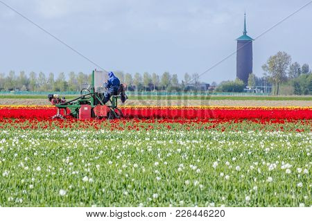 Middleharnis, The Netherlands -18 April 2014: Stunning, Vibrant Tulip Field With Farm Heading Machin