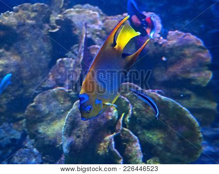 Closeup Queen Angelfish Undersea Isolated On Coral Reef Background