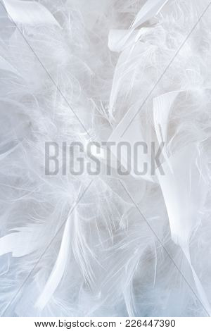 Wonderful Natural Pattern Of A Lot Of Big And Little White Gentle Feathers Of Feather Boa.