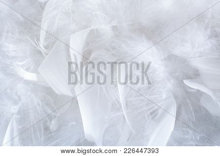 Close-up Beautiful Natural Pattern Of Big And Little  White Organic Structured  Gentle Feathers.