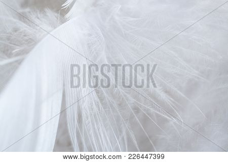 Close-up Beautiful Organic Structure Of Big White Bird Feather.