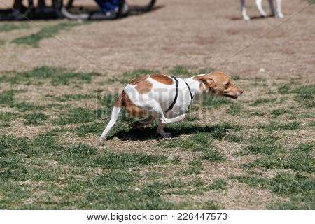 Small, Mixed Breed Terrier Running Around The Grass At The Park