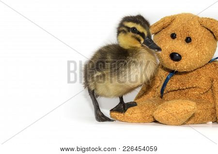 Mallard Duckling, Anas Platyrhynchos, With A Teddy Bear On A White Background. Cute 2 Week Old Femal
