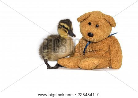 Cute Friendship, Mallard Duckling, Anas Platyrhynchos, With A Teddy Bear On A White Background. Fluf