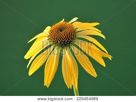 Colorful And Crisp Image Of Yellow Coneflower On Green Background