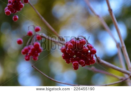 A Bunch Of Red And Shiny Rowan Berry At A Small Branch.