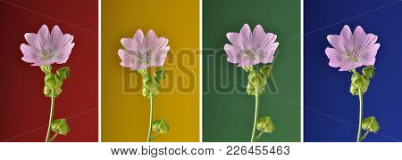 Colorful And Crisp Image Of Collage Musk Mallow On Variegated Background
