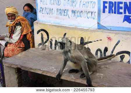 Pushkar, India - February 25: Unidentified People Watch Gray Langur On February 25, 2011 In Pushkar,