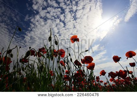 Harvesting, Spring And Summer. Harvesting, Harvest, Poppy Flower Field, Narcotics