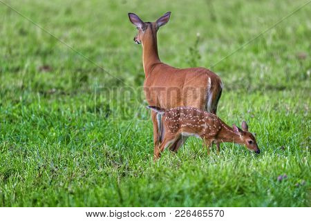 Fawn With Mom
