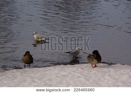 Ducks And Birds On The Snow, In Front Of An Ice-cold Lake. It Is In The Day And In Winter Season. Sh