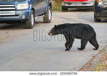 Horizontal Shot Of A Black Bearcrossing The Road In The Cades Cove Area Of The Smoky Mountains Natio