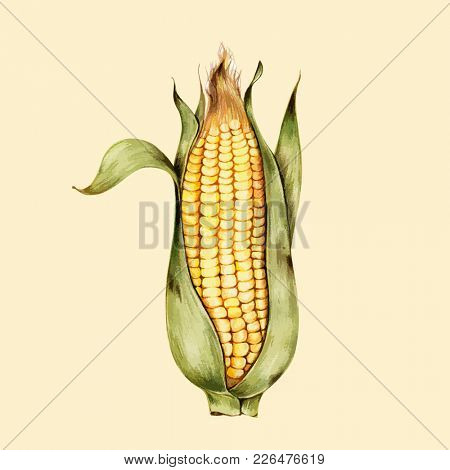 Illustration on drawing corn
