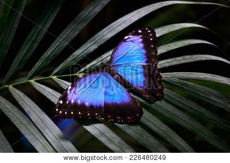 Morpho-peleides, Belonging To The Nymphalidae Family. Blue Butterfly Rests On A Palm Leaf And Opens