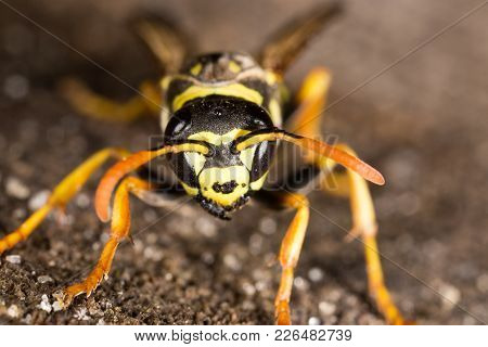 Portrait Of A Yellow Wasp In Nature. Macro