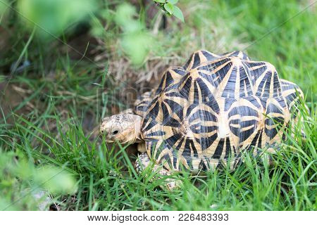 Indian Turtle Or Star Turtle Is Living In The Field.