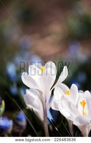 White Crocus Flowers Bloom In The Sunlight Of A Spring Garden.