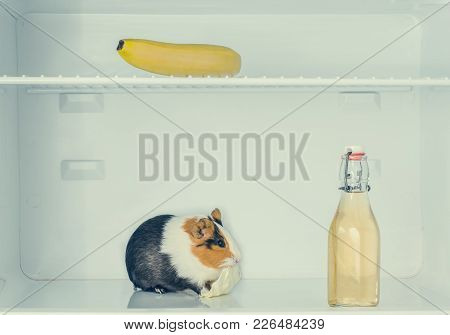 Red Little Guinea Pig In The Fridge With Banana And Bottle