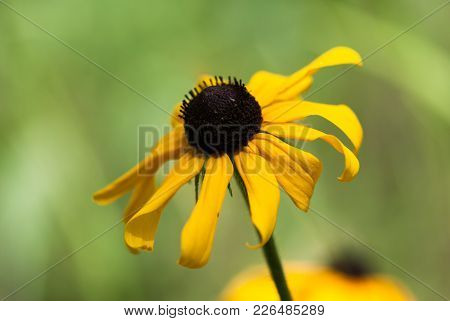 A Yellow Black Eye Susan Blooms Against A Green Background.