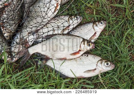 Pile Of The White Bream Or Silver Fish And White-eye Bream With Fishing Rod With Reel On The Natural