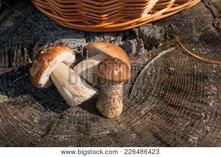 Group Of Brown Cap Boletus Mushroom (boletus Badius) And Porcini Mushrooms (boletus Edulis Or King B