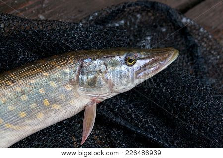 Close Up View Of Big Freshwater Pike Lies On Black Fishing Net..