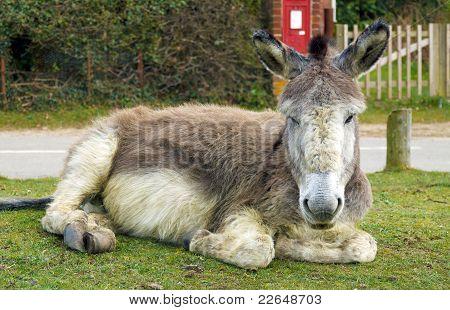 Resting Donkey