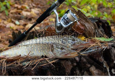Freshwater Pike Fish Lies On A Wooden Hemp And Fishing Rod With Reel..
