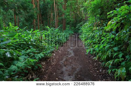 Tropical forest on Sao Miguel island, Azores, Portugal, Europe