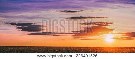 The Panoramic Landscape Of The Eared Ripen Wheat Field Under Scenic Summer Dramatic Sky In Sunset Da