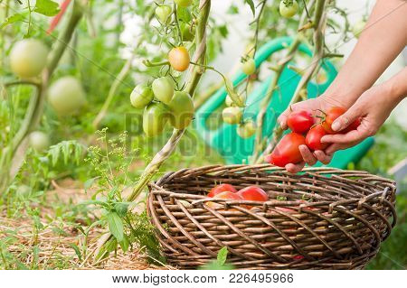 Woman's Hands Harvesting Fresh Organic Tomatoes In Her Garden On A Sunny Day.farmer Picking Tomatoes
