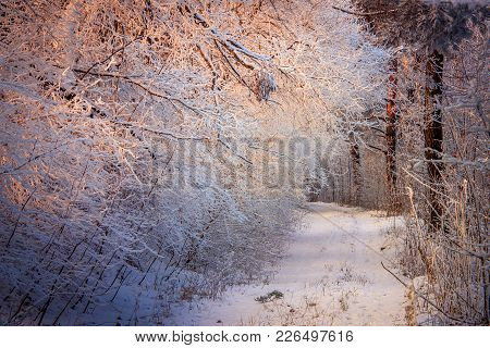 Forest Trail. Trees And Shrubs Are Covered With Frost. Warm Morning Sunlight. A Wonderful Winter Lan