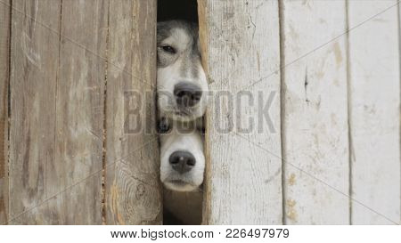 Old Dogs Looking Through A Fence. Video. Sad Tan And White Dog Looking Through Hole In Timber Fence.