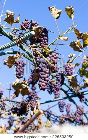 Blue Grapes. Bunches Of Grapes. Homemade Grapes. Growing Grapes. Blue Sky