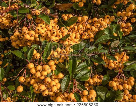 Close Up Shot Of An Abundance Of Winter Berries On A Garden Shrub.  The Berries Are Yellow And Very