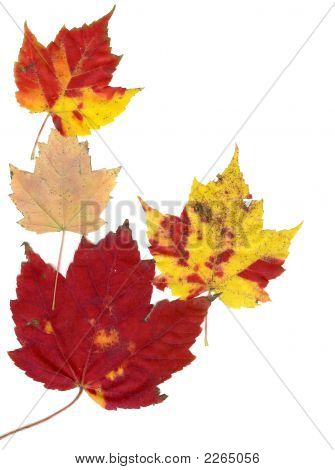 Multiple Autumn Leaves