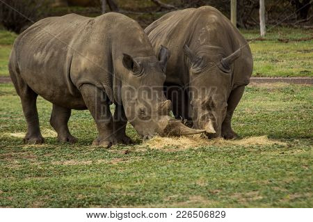 Two Fully  Grown Rhinoceros Feeding On Hay Together