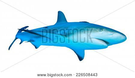 Shark isolated. Grey Reef Shark cutout white background