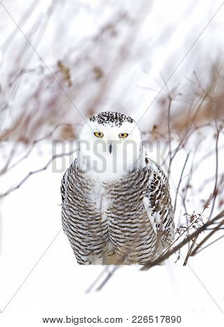 Snowy Owl (bubo Scandiacus) Closeup In The Middle Of A Cornfield In Canada