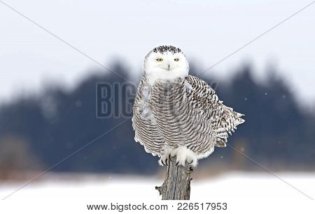 A Snowy Owl (bubo Scandiacus) Perched On A Post In Winter Hunting Over A Snow Covered Field In Canad