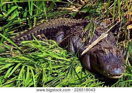 Alligator Resting On A Lush Green Field In A Wetland Ecosystem