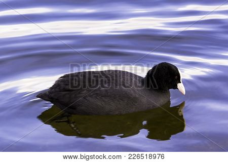 Eurasian Coot Swimming In Bedfont Lakes Country Park, London, United Kingdom